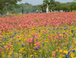 Fabulous Texas wildflowers in the spring
