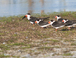 Black skimmer gulls - an endangered species that nests and lives here year-round