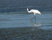 Whooping crane - an endangered species that nests here in the winter