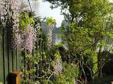 Wisteria on house deck in spring