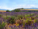 Lavender Field: Here is a picture I took of a lavender field outside Nice.