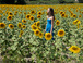 Sunflower field.: Here a picture I took in July of a sunflower field near Nice. 