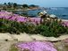 famous purple ice plant in Pacific Grove