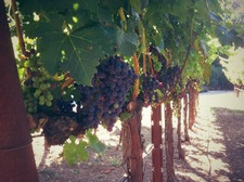 Our vineyard a couple weeks before harvest (October)