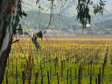vineyard_with_mustard_ymr.JPG