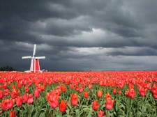 Windmill / Dutch tulips 