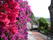 Our bouganvillea