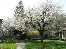 Le cerisier dans le jardin au printemps. Garden with cherry tree